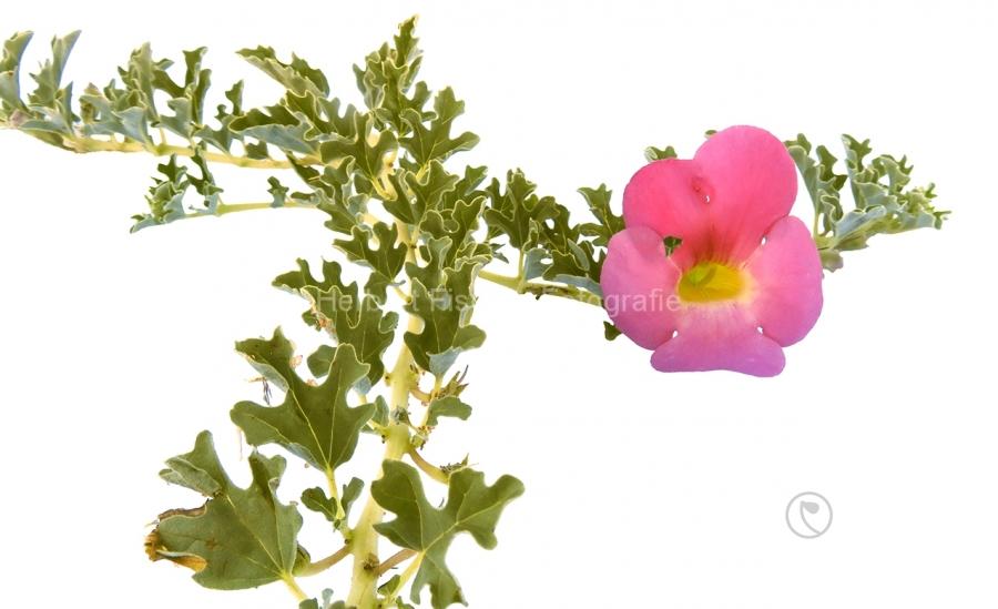 Afrikanische Teufelskralle - Harpagophytum procumbens_1136011_0