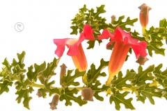 Afrikanische Teufelskralle - Harpagophytum procumbens_1136026_0