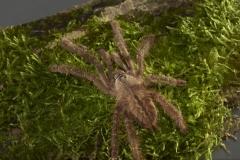 poecilotheria-ornata_025x