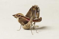 totblatt-mantis-08